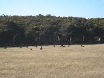 05 Känguru-Herde