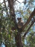 07 Koala beim Relaxen