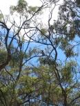 08 Koala beim Fressen