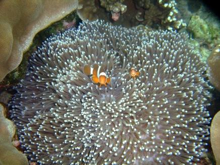 14 anemone mit nemos