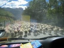02 Schafherde auf dem Weg zum Mount Aspiring National Park