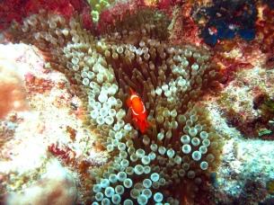 03 Clownfish (aka Nemo)