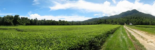 03 Teeplantage auf dem Weg zum Cape Tribulation