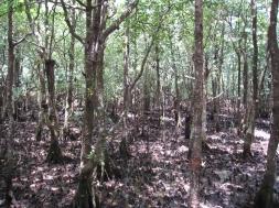 07 Mangroven Bäume