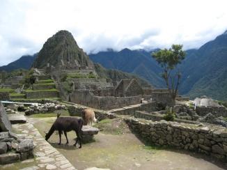 13 Lamas in Machu Picchu