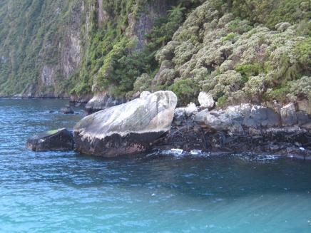 16 Seehunde im Milford Sound